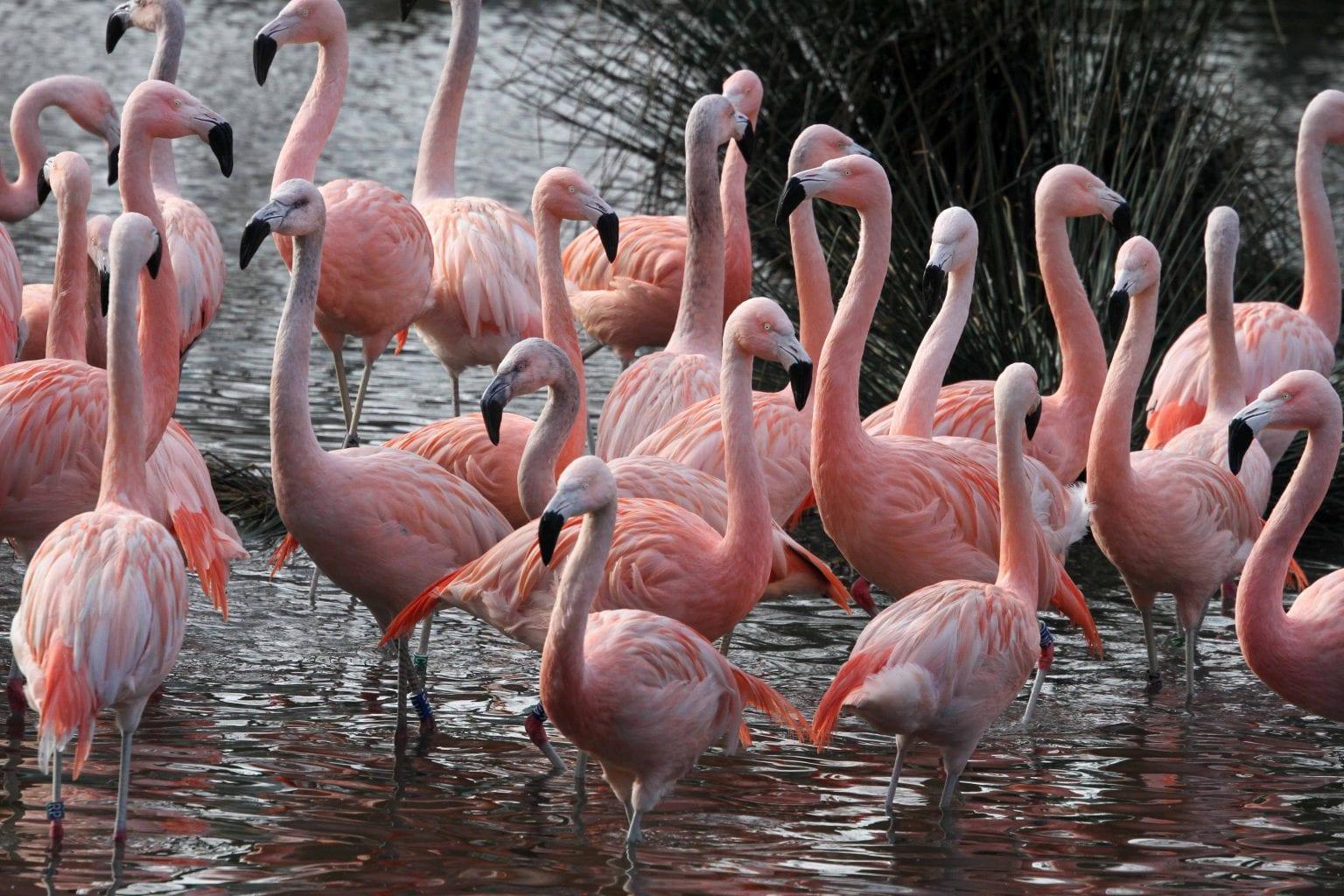 Chileense-flamingos-in-Artis.-Foto-Artis-Ronald-van-Weeren